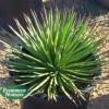 Agave geminiflora - Twin-Flowered Agave