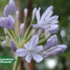 AGAPANTHUS 'Tinkerbell'