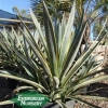 Agave tequilana 'Tequila Sunrise'