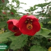 abutilon red princess