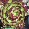 Aeonium arboreum 'Atropurpureum' - Purple Aeonium