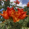 Click AFRICAN TULIP TREE to view the product.