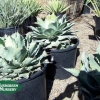 Agave potatorum - Butterfly Agave