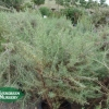 Artemisia 'Canyon Gray'