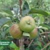 Apple malus 'Beverly Hills'