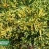 Euonymus japonicus 'Gold Spot'