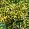 Euonymus japonicus 'Gold Spot'