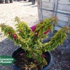 Click Pixie Queen Bougainvillea to view the product.