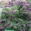 Click Butterfly Bush to view the product.