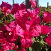 Bougainvillea Oh My My