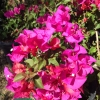 Click Temple Fire Bougainvillea to view the product.