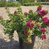 Click Torch Glow Bougainvillea to view the product.
