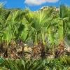 Brahea edulis Guadelupe Palm