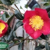 CAMELLIA YULETIDE FLOWER