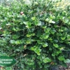 Carissa macrocarpa 'Green Carpet'