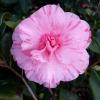 camellia carters sunburst