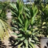 Click Green Ti Plant to view the product.