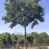 Ceratonia siliqua Carob