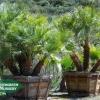 Chamaerops humilis - Mediterranean Fan Palm