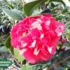 camellia japonica  mrs charles cobb