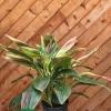 Cordyline fruticosa 'Exotica'