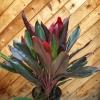 Cordyline fruticosa 'Tropical Red'