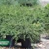 Cotoneaster dammeri 'Lowfast'