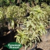 Dracena reflexa 'Song of India'