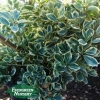 EUONYMUS japonicus 'Silver Queen'