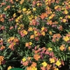 erysimum winter party