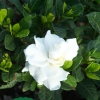 Gardenia jasminoides 'Veitchii'