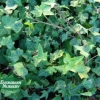Hedera helix - English Ivy