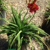 DAYLILY STELLA IN RED