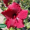 Hibiscus 'Red Riding Hood'