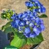 Hydrangea macrophylla 'Galilee'