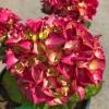 Hydrangea macrophylla Merritt's Supreme Pink