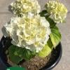 Hydrangea macrophylla White Robe