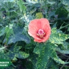 Variegated Salmon Abutilon