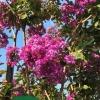 Lagerstroemia flower