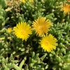 Ice Plant Delosperma Yellow
