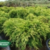 Juniperus chinensis 'Old Gold'