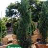 Juniperus scopulorum 'Sky Rocket'