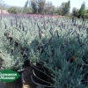 Lavendula 'Goodwin Creek'