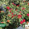 Lantana 'Patriot Cherry'