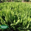 Nephrolepis obliterata 'Emerald Queen'
