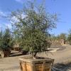 Oak Cork Quercus subee