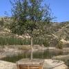 Oak Southern Live Quercus virginiana