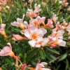 Nerium Oleander Petite Salmon