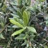 Olea europaea 'Little Ollie' Dwarf Olive