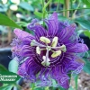 Passiflora incarnata 'Inspiration Purple'